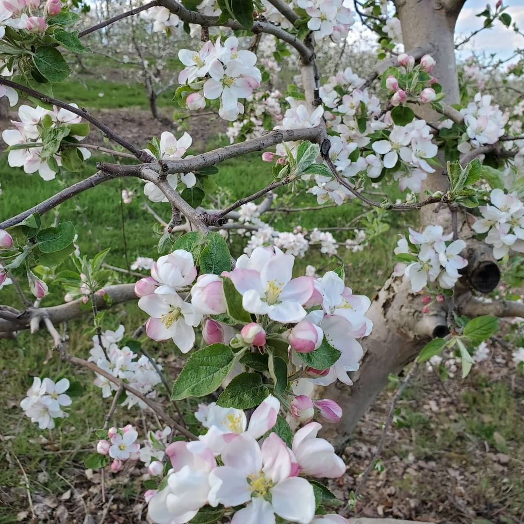 """We hope these blossom days are a sweet distraction from the current times and a reminder of the bounty and better times ahead.""⁣ ⁣ This week, Happy Valley Agventure destination Way Fruit Farm launched a socially-distanced blossom tour, so community membe"